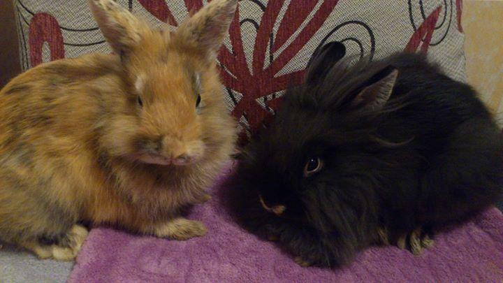 Swatanie królików